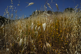 GOLD AMONGST THE STRAW, Topanga, California
