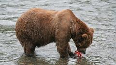 Niedźwiedź zajada łososia