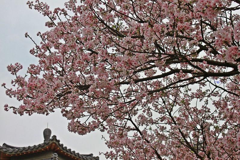 17度C在地景點春季推薦-東方室-櫻花 (9)