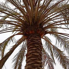 #date #palms #tree in #Bahrain in the #summer with no #fruit #foliage #green #desert