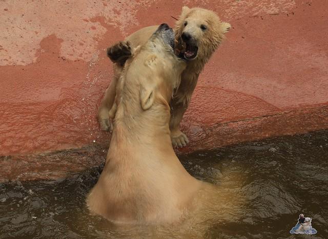 Eisbär Fiete im Zoo Rostock 04.05.2015 156