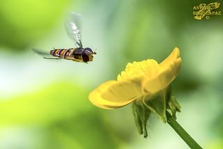Sírfido volando sobre Botón de Oro (Ranunculácea)