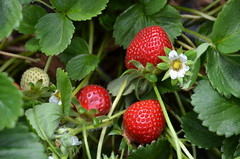 evergreen, berry, flower, strawberry, plant, fruit, salmonberry,