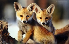 Wildlife in Israel - Baby foxes