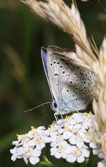Adonis blue on yarrow