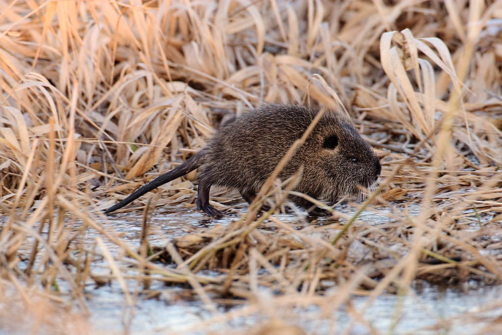 A baby nutria walks across ice on a cold winter's day.