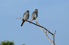 Amur Falcons (Falco amurensis) male