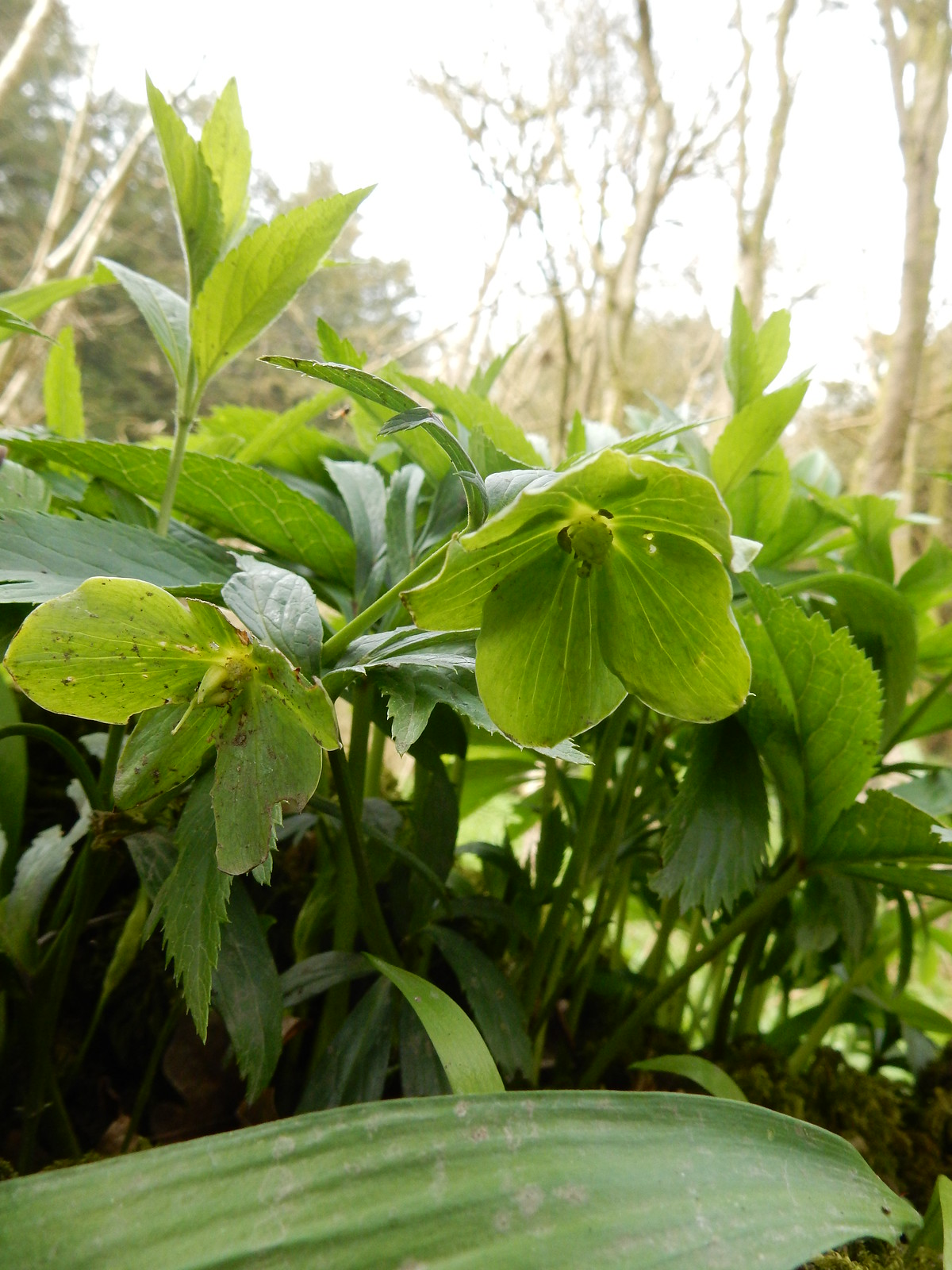 Green Hellebore flowers Sevenoaks Circular I think this one's more Green than Stinky. But let's see what the experts thinky!