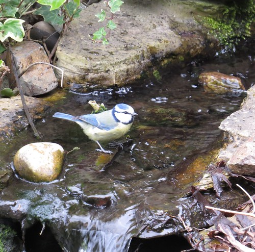 748 Blue Tit at the bathing pool of the water feature.