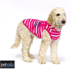 #tbt to when my mom thought I would look #cute in #pink ! Now that I'm growing up I wouldn't let her put that on me! #puppy #spoo #standardpoodle #embarrassed #dog #iamaboy !!🐾🐩 #petvalu