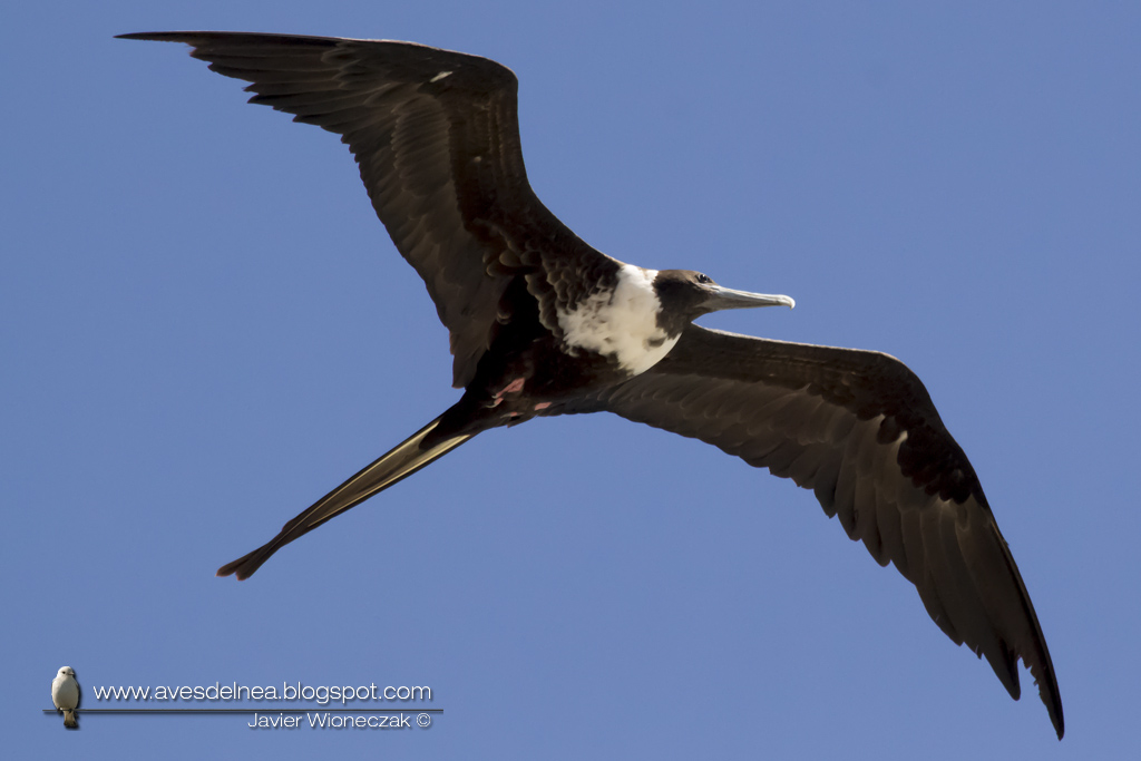 Ave fragata (Mangnificent Fregatebird) Fregata magnificens