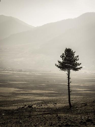 tree nature pine sepia outdoors mono march countryside asia southeastasia bhutan faded views vista himalaya phototrip muted onetree 2015 himalayankingdoms microfourthirds alisonryde olympusem1 phobjhikhavalley bhutanesekingdom bhutanbeauty countryofbhutan