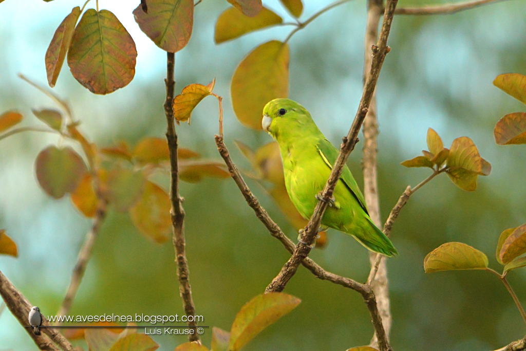 Catita enana (Blue-winged Parrotlet) Forpus xanthopterygius