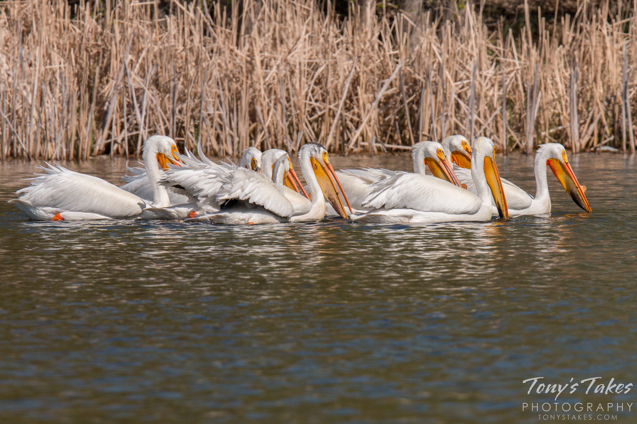 American white pelicans fishing as a group a local pond for Local fishing ponds