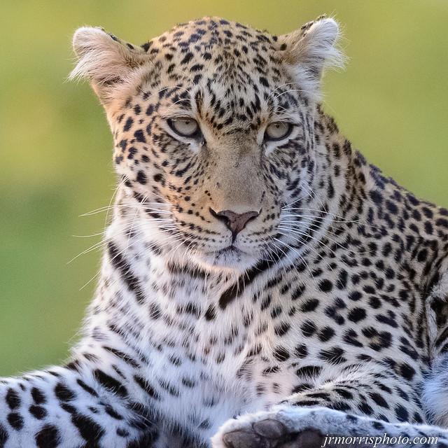 Leopard1-5437