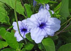 Blue Ruellia, Palawan