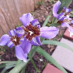 My iris is blooming! #garden