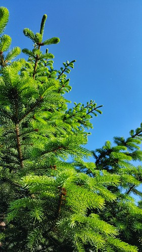 nature pinetree pine kosovo