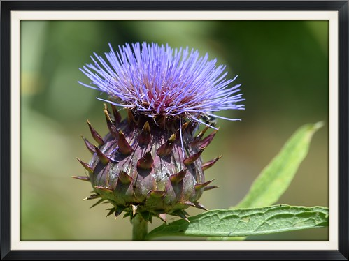 Wild Beauty,  thistle (Cynara Cardunculus) in the countryside of Collecorvino
