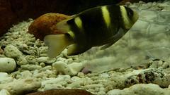 Banded Damselfish. Batu Batu Resort