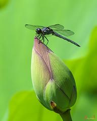 Lotus Bud and Slaty Skimmer Dragonfly (DL0105)