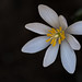 Bloodroot by digiphotonut