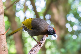 Image of Doi Inthanon. trochalopteron laughingthrush bird birds aves doiinthanon doiinthanonnationalpark chiangmai d800 nikon nikon28300mm nationalpark wwwthainationalparkscom thailand silverearedlaughingthrush