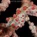 PYGMY SEAHORSE (15 mm)