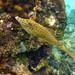 Scribbled Filefish (Janice Beck) (2)