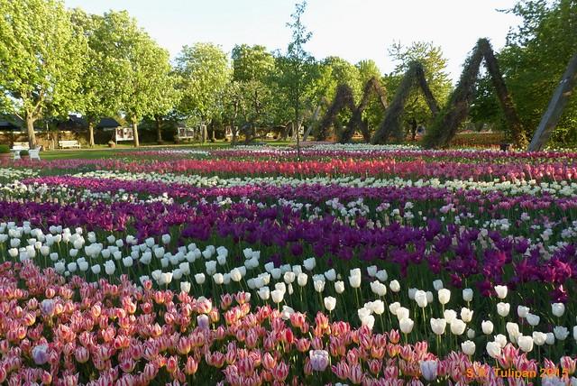 Britzer Garten Tulipan 06.05.2015  110