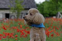 Jack, king of Poodle