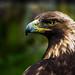 Aquila chrysaetos (Golden Eagle / Aigle Royal)