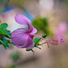 Hibiscus by Zahid the Explorer