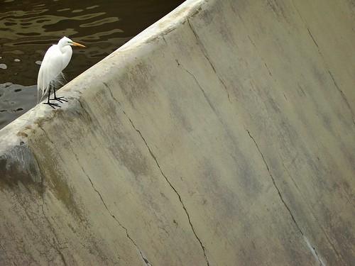 great egret, Guadalupe River Park, San Jose, California, March 12, 2006