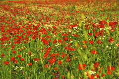 annual plant, prairie, flower, field, plant, herb, wildflower, flora, natural environment, coquelicot, meadow, grassland, poppy,