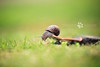 Skateboard Snail | Animal Photography Bedfordshire