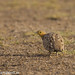 uttampegu posted a photo:	Chest Bellied Sandgrouse at menar, Udaipur