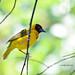 黑頭織布鳥 Black-headed Weaver (TAIWAN)