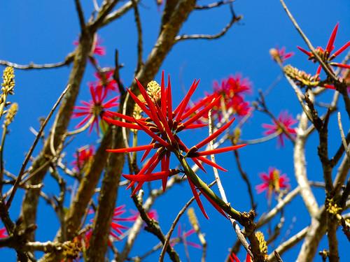 Naked Coral Tree / Árvore de coral - Mulungu do Litoral