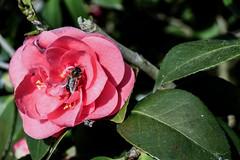 blossom(0.0), shrub(0.0), garden roses(0.0), camellia(1.0), camellia sasanqua(1.0), floribunda(1.0), flower(1.0), plant(1.0), macro photography(1.0), flora(1.0), camellia japonica(1.0), theaceae(1.0), petal(1.0),