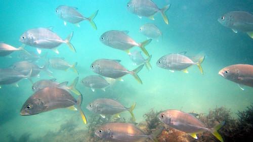 今日のサムイ島 4月20日 ファースト前スノーケルリベンジ-チャウエンノイビーチ-ギンガメアジ・キス