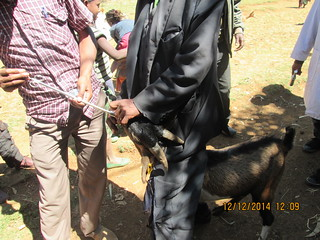 Cooperative breeding group sheep receive strategic deworming, W. Shoa, Oromia, Ethiopia.
