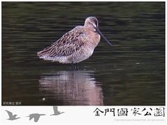 金門水鳥族群研究成果-08