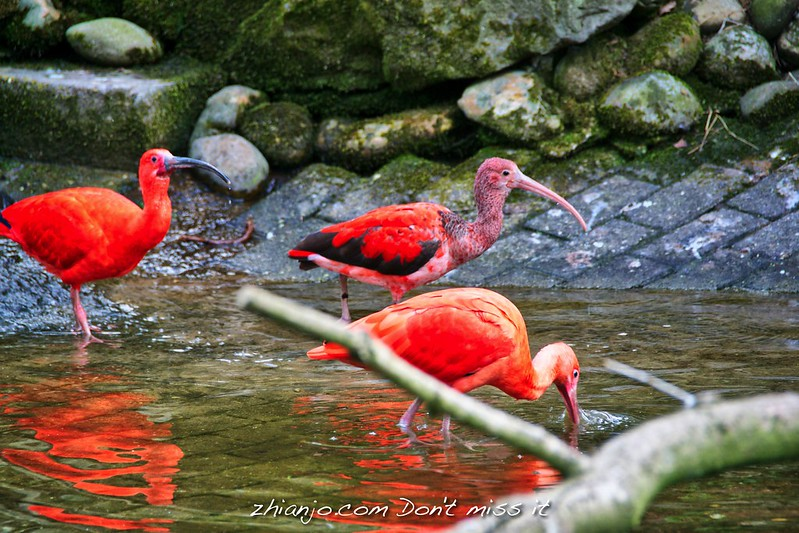 Red Ibis