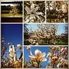 Un magnolia pour ma cousine Christine...