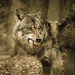 hungry like a wolf by johhartmann