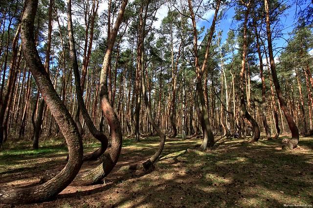 Krzywy Las - Krummer Wald Krzywy Las - Krummer Wald
