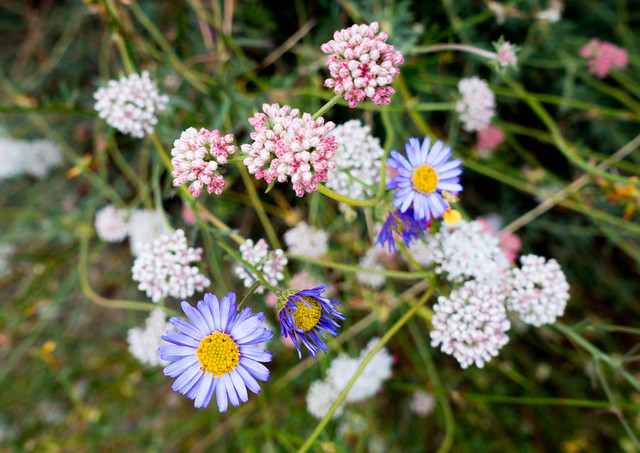 Asters and buckwheat, m348