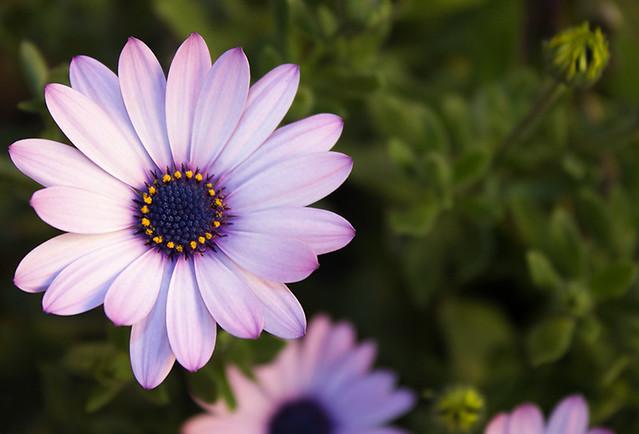 Purple Flower. Dimorphotheca
