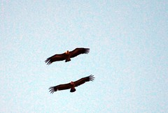 Vultures in the Jonte gorge